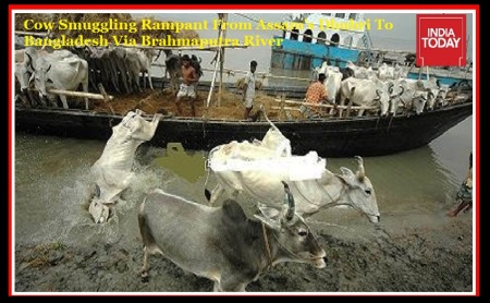 Cow Smuggling Rampant From Assam's Dhubri To Bangladesh Via Brahmaputra River